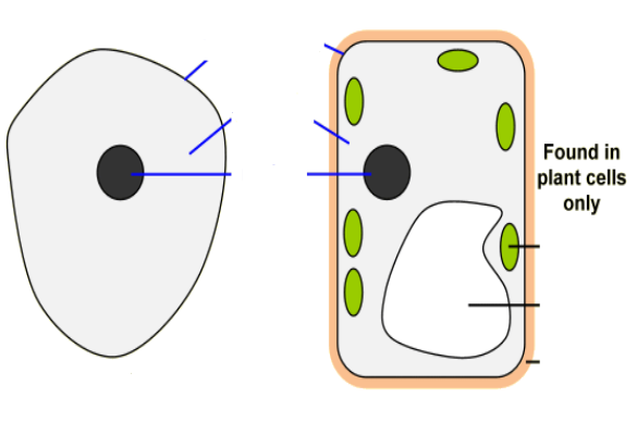 Plant Cell Diagram Unlabeled Crazywidowfo